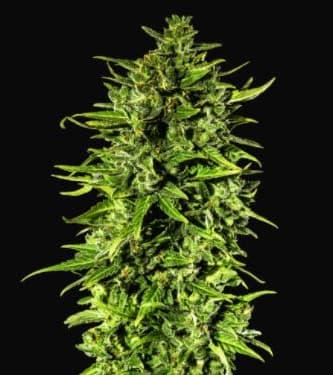Dr Hypno CBD Auto > Hypno Seeds