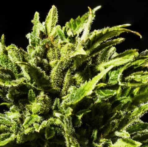 Dr Hypno CBD > Hypno Seeds