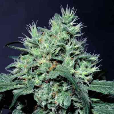 Dutch Dragon > Paradise Seeds