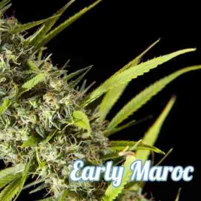 Early Maroc > Philosopher Seeds