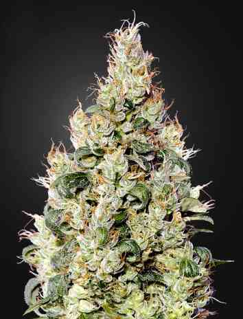 Exodus Cheese Automatic CBD Samen > Green House Seed Company