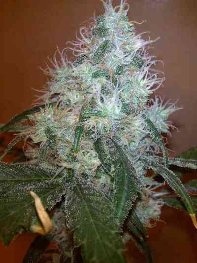 Gypsy Kush > Kannabia Seeds