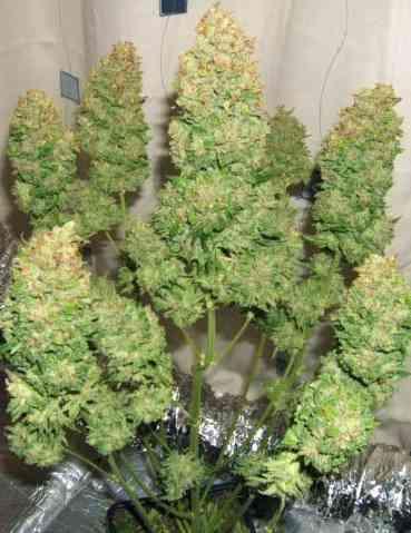 Fast Bud #2 Auto > Sweet Seeds