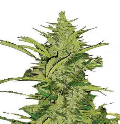 Fast Eddy Automatic > Royal Queen Seeds