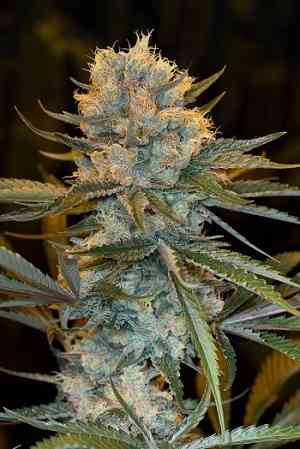 Fast Old School Skunk 2.0 > LaMota Seeds