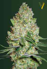 Chronic Monster XXL Samen > Victory Seeds