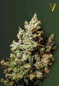 Northern Light Samen > Victory Seeds