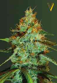 Original Limonade Skunk Samen > Victory Seeds