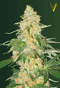 Super Extra Skunk Seed > Victory Seeds