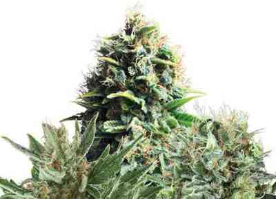 Feminized Mix Samen > Royal Queen Seeds