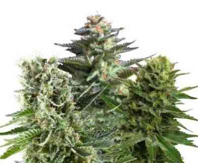 Feminized Mix > Royal Queen Seeds