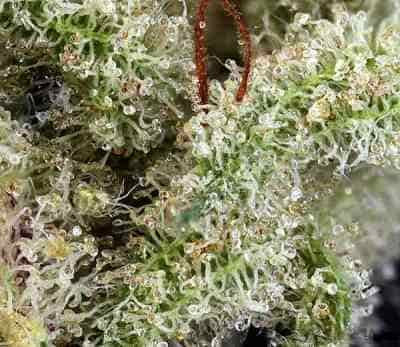 Ghost Train Haze #1 > Rare Dankness Seeds