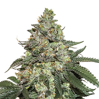 Girl Scout Cookies Auto Samen > Seed Stockers