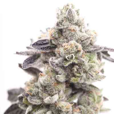 Girl Scout Cookies semilla > Linda Seeds