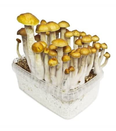 Golden Teacher > Magic Mushrooms