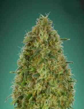 Gorilla Blue Seed > Advanced Seeds