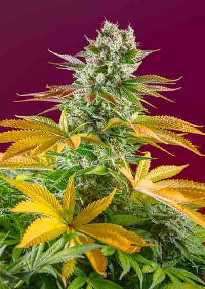 Gorilla Girl F1 Fast Version > Sweet Seeds
