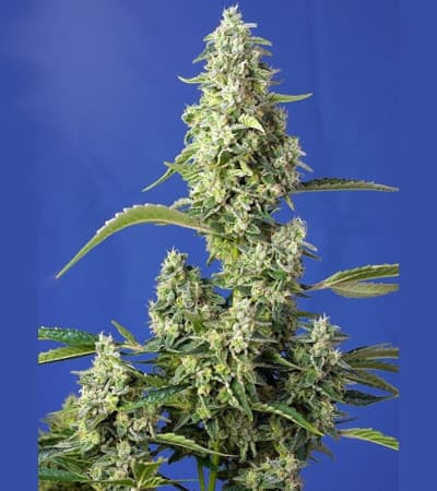 Gorilla Girl XL Auto > Sweet Seeds