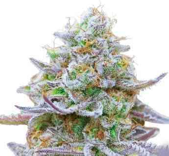 Gorilla Zkittlez Seed > Barney\'s Farm