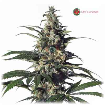 Green Doctor Samen > Medical Marijuana Genetics