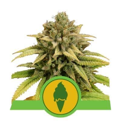 Green Gelato Auto > Royal Queen Seeds