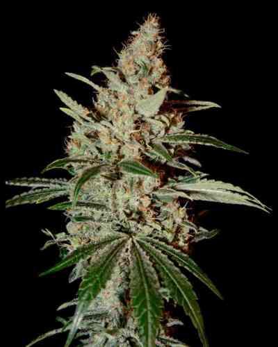 Chemdog > Green House Seed Company