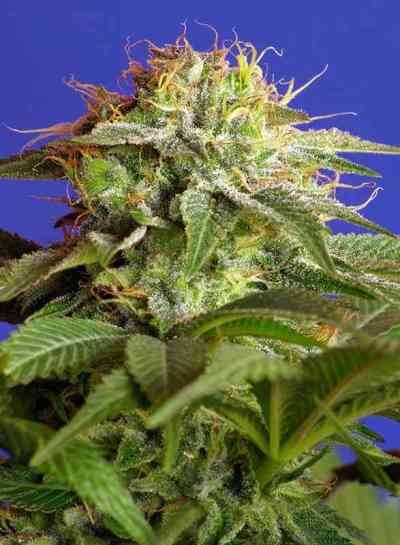 Green Poison F1 Fast Version > Sweet Seeds