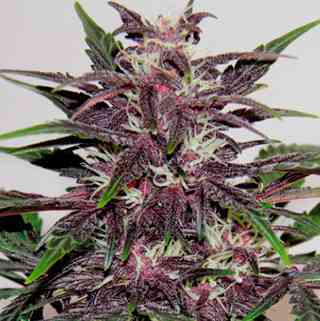 Grizzly Purple Kush > Blim Burn Seeds