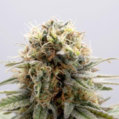 GSC > Kannabia Seeds