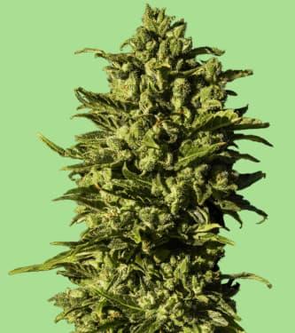 Hazenberg Am > Hypno Seeds