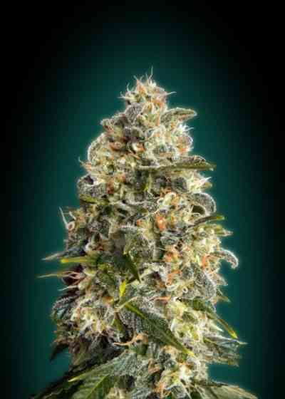 Heavy Bud Samen > Advanced Seeds