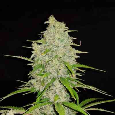 Hulkberry Seed > Royal Queen Seeds