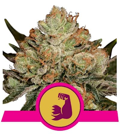 Hulkberry > Royal Queen Seeds