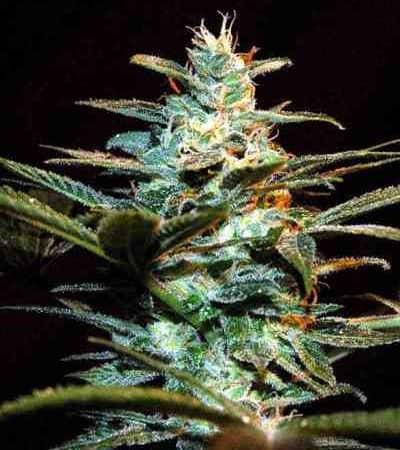 Ice Cool > Sweet Seeds