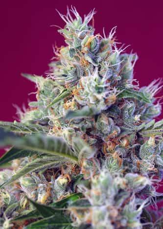 Indigo Berry Kush > Sweet Seeds