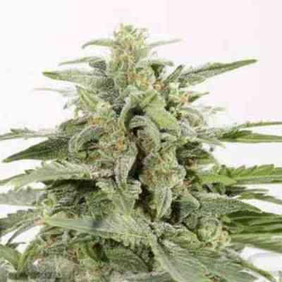 Industrial Plant Autoflowering CBD > Dinafem Seeds