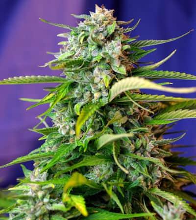 Jack 47 Auto > Sweet Seeds