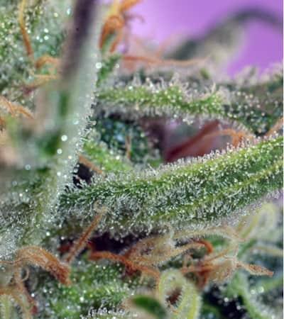 Jack 47 > Sweet Seeds
