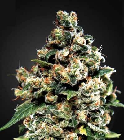 Jack Herer > Green House Seed Company