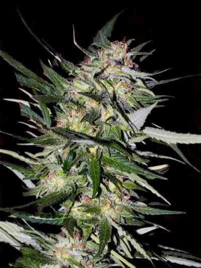 Feminized Collection #4 > Advanced Seeds
