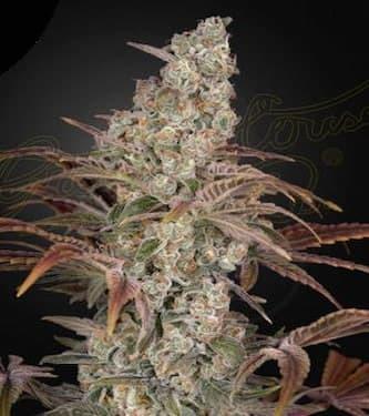 Jack's Dream > Green House Seed Company