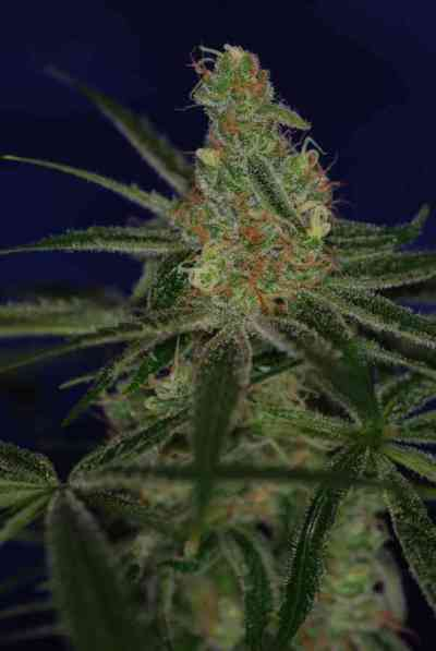 Jacks Cleaner 2 > TGA Subcool Seeds