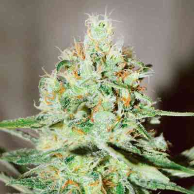 Jagg Kush > Delicious Seeds