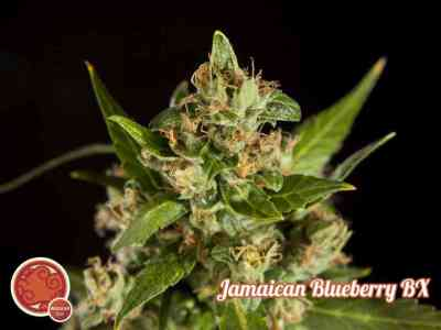 Jamaican Blueberry Bx > Philosopher Seeds