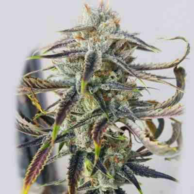 Jenny Kush > Rare Dankness Seeds