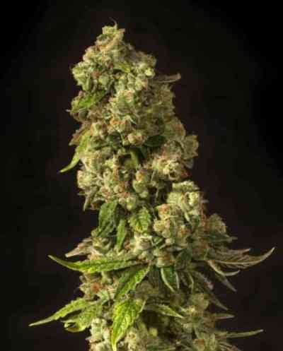 John Doe semilla > The Devil\'s Harvest Seed Company