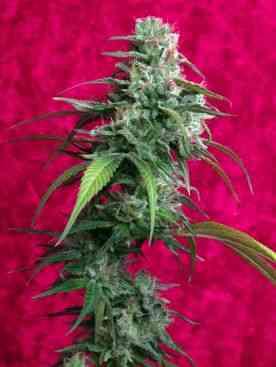 Juanita la Lagrimosa > Reggae Seeds