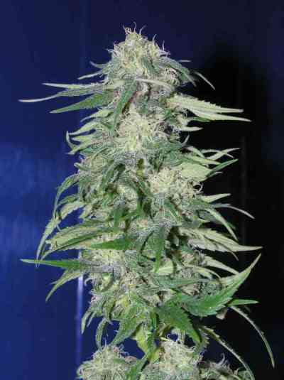 K2 graines > Homegrown Fantaseeds