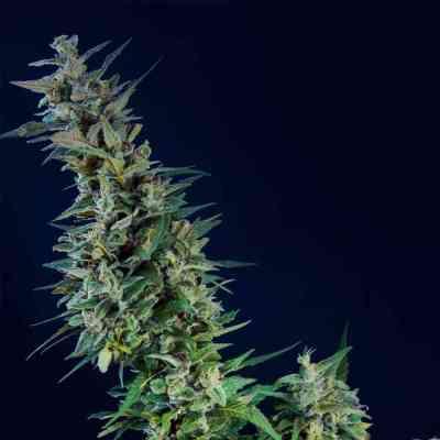Kama Kush CBD > Kannabia Seeds