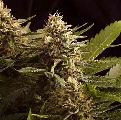Colombian Jack > Kannabia Seeds